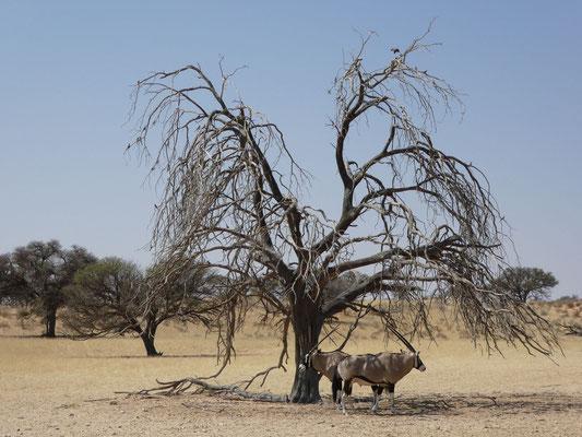 Etosha NP - schattensuchende Oryxantilopen - Oryx - Gemsbok