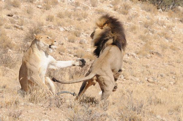 Kalahari Löwen mit schwarzer Mähne