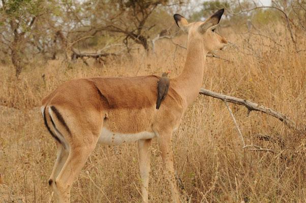 Impala mit Madenhacker