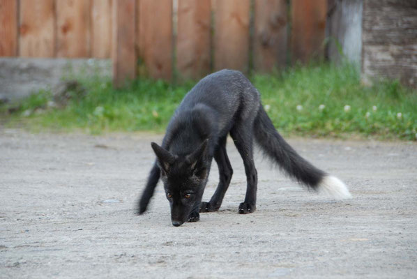 Barkerville - Fuchs