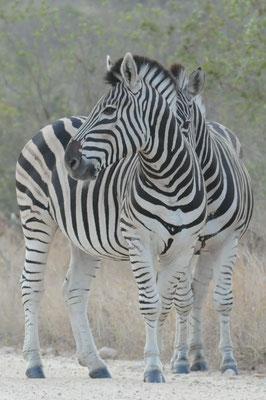 Steppenzebra - Burchell´s Zebra - Bontkwagga