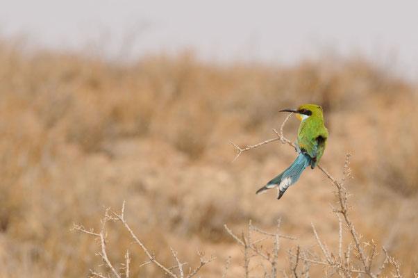 Schwalbenschwanzspint - Swallowtailed bee-eater