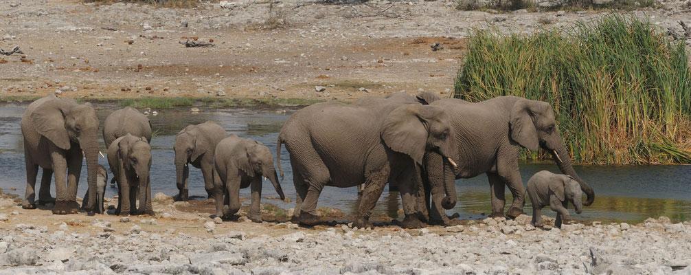 Etosha NP - Elefantenherde am Wasserloch - Elephants - Olifant