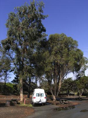 Pismo - unter Eukalyptus Bäumen