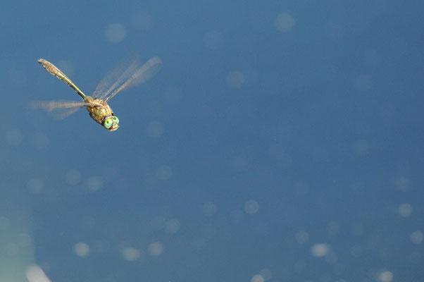 Falkenlibelle - Cordulia