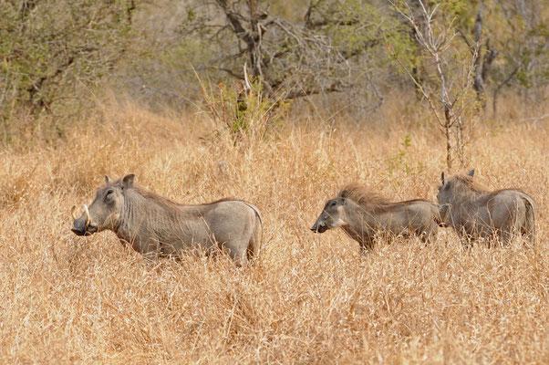Warzenschwein Familie - warthog - vlakvark