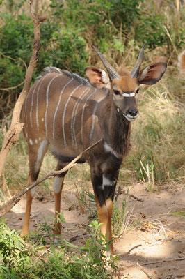 Kudu Jungtier