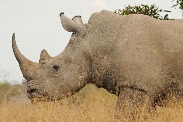 Breitmaulnashorn - White Rhinoceros - witrenoster