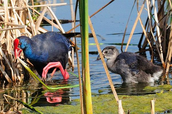 Purpurhuhn mit Jungvogel im Ebrodelta