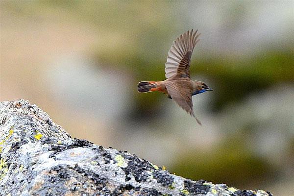 Iberisches Blaukehlchen (Foto: Detlef Stiller)