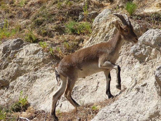 Iberischer Steinbock in der Sierra de Grazalema (Doro Koch)
