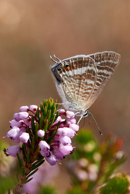 Großer Wanderbläuling, Lampides boeticus