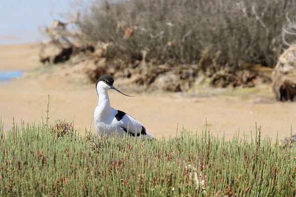 Säbelschnäbler im Ebrodelta (Stefan Leimbach)