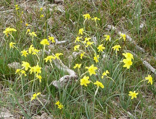 Felsen-Narzisse (Narcissus rupestris)