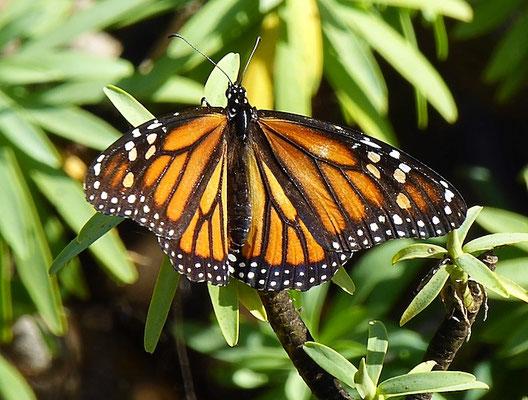 Monarchfalter bei Tarifa