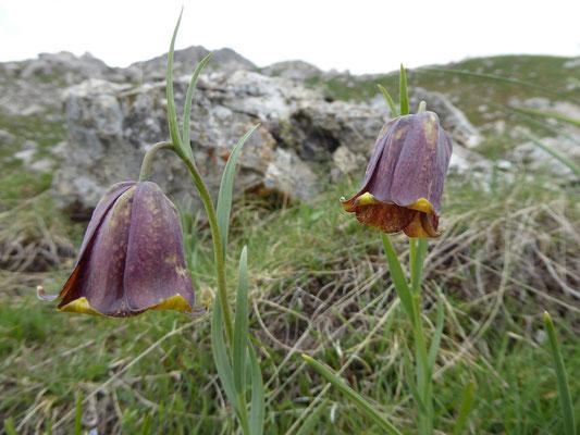 Pyrenäen-Schachblume