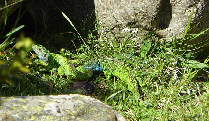 Smaragdeidechsen bei der Paarung