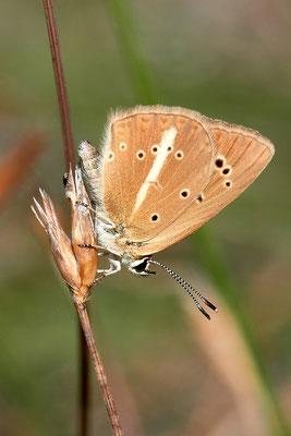 Weißdolchbläuling , Polyommatus damon