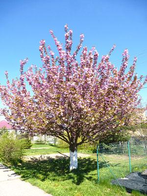 Blühender Baum im Anneliese-Park