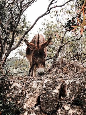 Esel auf der Wanderung zur Na Foradada