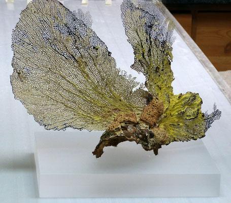 sockel koralle plexiglas acrylglas