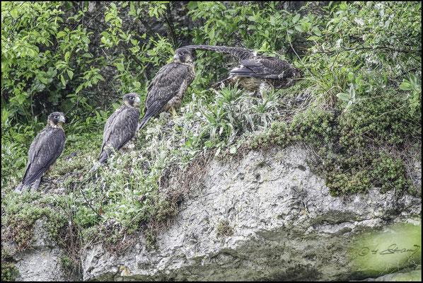 Wanderfalken  (Foto Hubert Schraml)