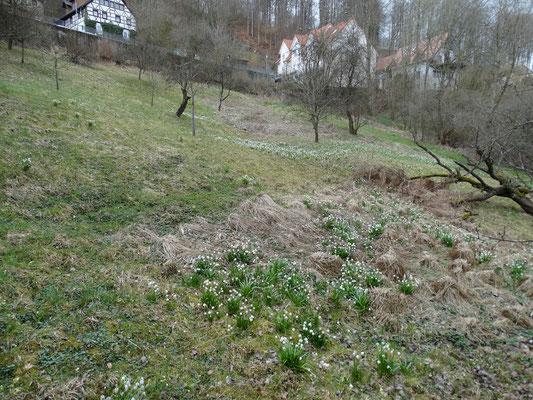 Kantorsgarten zur Blütezeit des Märzenbechers im zeitigen Frühjahr.
