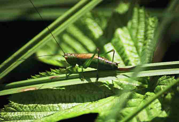 Kurzflügelige Schwertschrecke