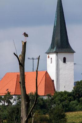 Schwarzstorch im Moor  (Foto Hubert Schraml)