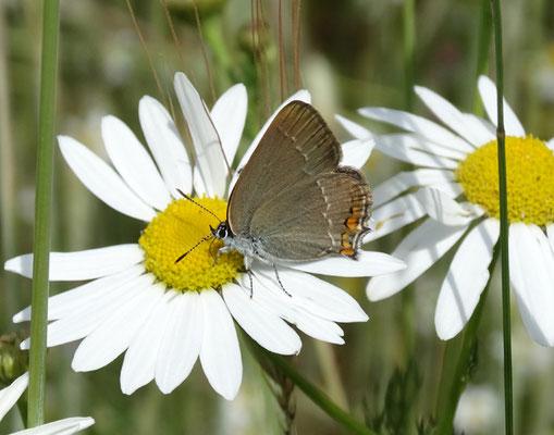 Ein seltener Blütenbesuchers des Ackers am Sulzbürg ist der Kleine Schlehenzipfelfalter.