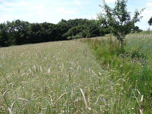 LBV-Acker am Sulzbürg mit lückiger Getreideeinsaat, Ackerwildkräutern und Feldrain mit Streuobstreihe im Sommer 2015.