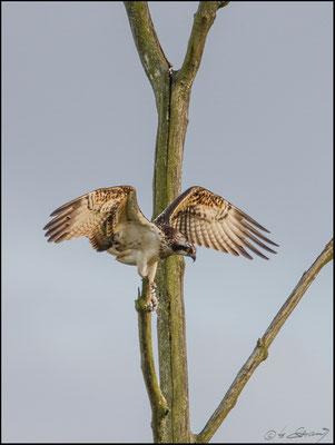 Fischadler im Moor (Foto Hubert Schraml)