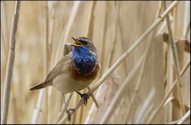 Blaukehlchen im Moor  (Foto Hubert Schraml)