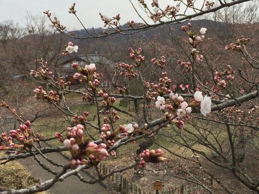 まだ桜は咲き始めでした。