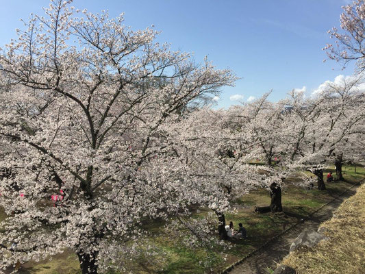 満開の桜に迎えられました。