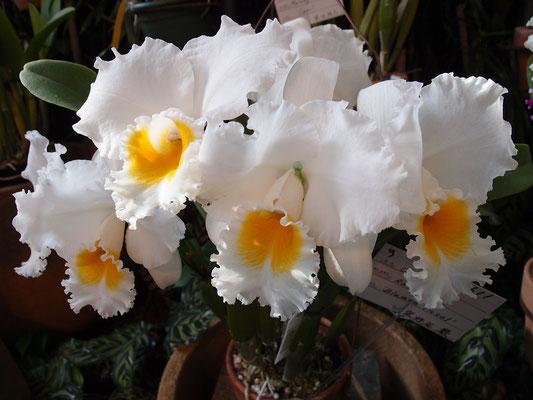 白と黄色 カトレア