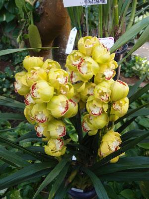 花が丸っこい シンビジューム