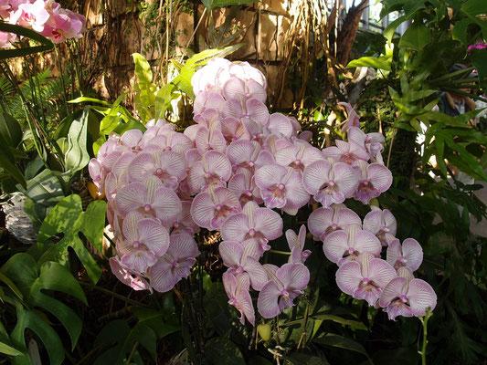 薄いピンク ファレノプシス