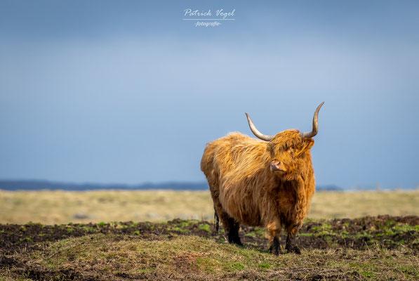 Schottisches Hochlandrind im Cairngorms Nationalpark