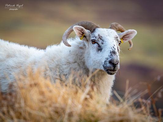 Schottisches Schaf im Cairngorms Nationalpark