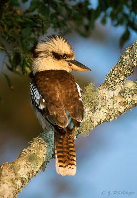 Kookaburra, Australien