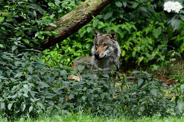 Europäischer Grauwolf (C), Wildpark. Einmal einen freilebenden Wolf sehen - das wäre der Tier-Jackpot für mich!