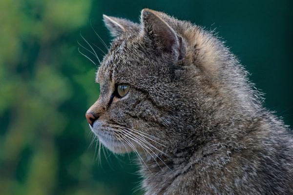 Europäische Wildkatze (C), Gehege N.P. Hainich