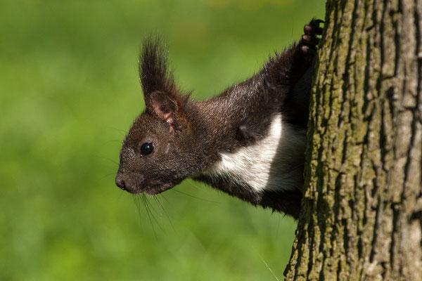 Eichhörnchen, N.P. Hainich