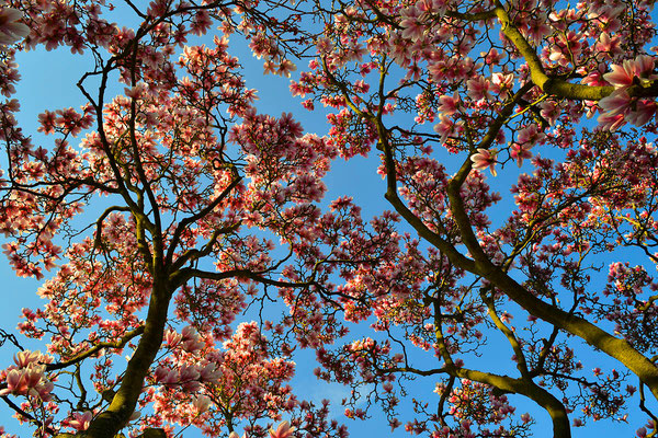 Nachbar's Magnolienbaum - der schönste im Ort