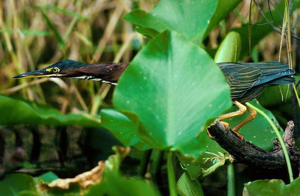 Green Heron, Florida, 1988