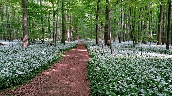 Nationalpark Hainich Bärlauchblühte