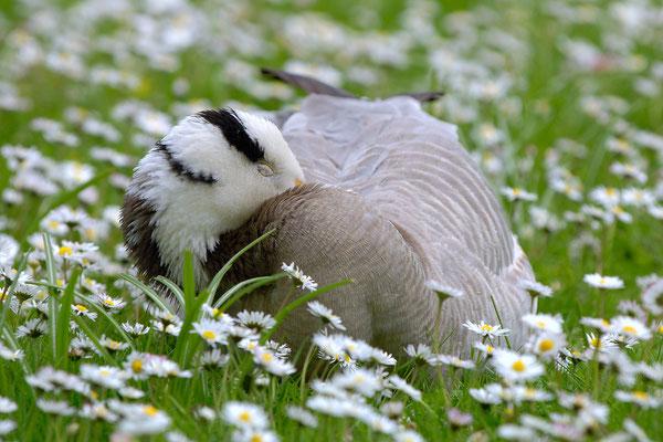 Streifengans an Gänseblümchen, Gefangenschaftsflüchtling. Diese Gänseart fliegt auf dem Zug zweimal im Jahr in >9.000m Höhe über den Himalaya - ohne Sauerstoffflasche. Keine zweite Vogelart schafft das - alle anderen brauchen dazu O²-Masken, ehrlich!