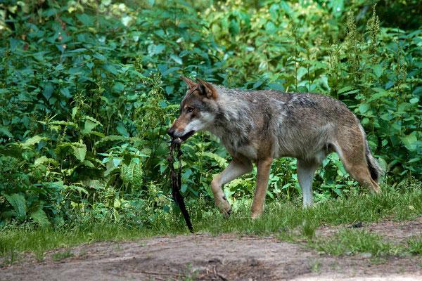Europäischer Grauwolf (C), Wildpark