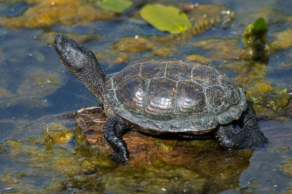 Europäische Sumpfschildkröte, Brandenburg